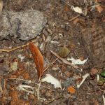 Im Foto sieht man oben links ein solches Gewölle, darunter einige Mäusekiefer und Knochen, die in einem schon aufgelösten Gewölle enthalten waren; Foto: Roland Klemm