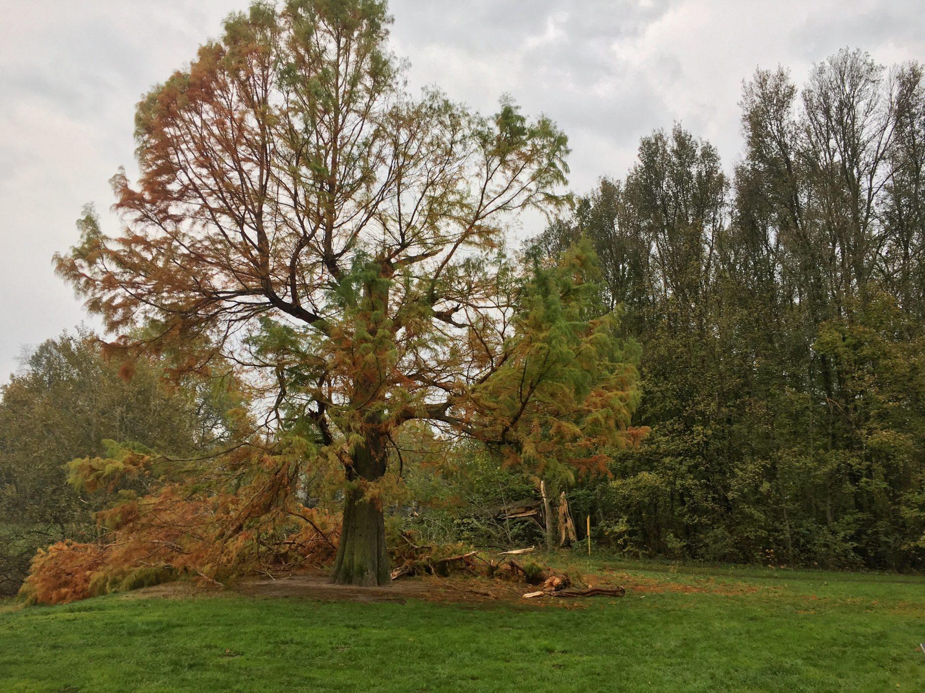 Auch die Sumpfzypresse am Teich wurde teilweise zerstört. Hoffentlich kann sie gerettet werden; Foto: M. Geißler