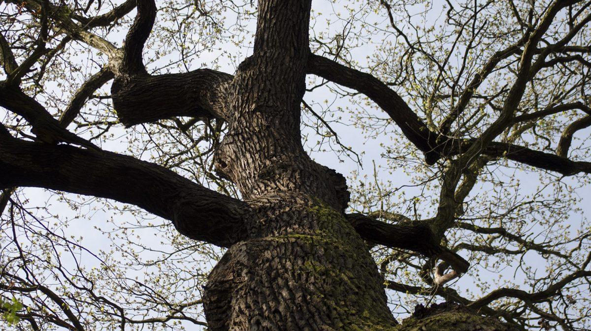 300jähriger Baum im Rosenrtal; Foto: Andreas Reichelt