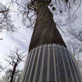 Graureiherkolonie im Rosental vor Waschbären geschützt